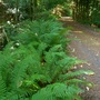 Driveway lined with ferns
