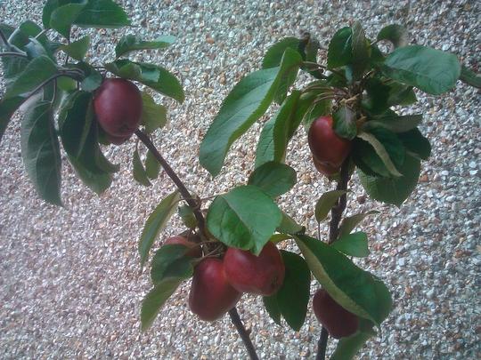 Red Valentine Apple tree