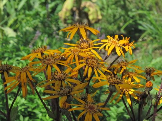 """flowers of Ligularia dentata """"Othello"""" (Ligularia dentata """"Othello"""")"""