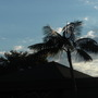 Howea fosteriana - Kential Palm (Howea fosteriana - Kential Palm)