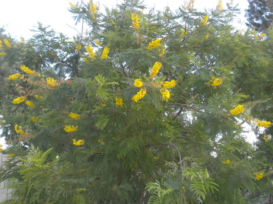 Peltophorum africanum - African Wattle Tree (Peltophorum africanum - African Wattle Tree)