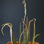 A._albiflora