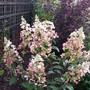 Hydrangea paniculata 'Pinky Winky' (Hydrangea paniculata)