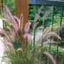 Purple fountaingrass (Pennisetum setaceum) (Pennisetum setaceum)