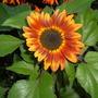My_sunflower_003