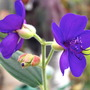 MEANIE HERE IT IS............TIBOUCHINA. (Tibouchina urvilleana (Lasiandra))