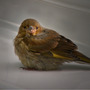 Greenfinch_spotlight