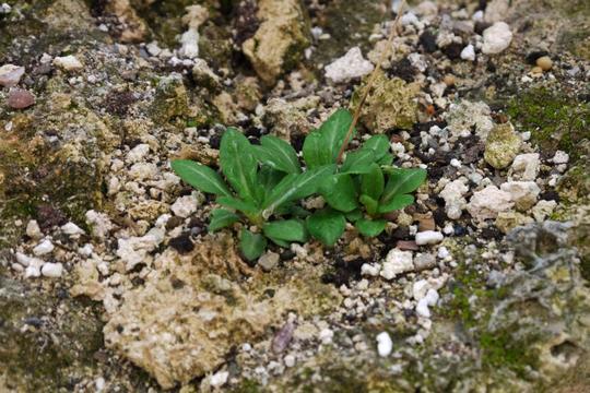 Primula scotica  planted in tufa wall