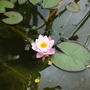 First water lily