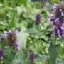 "Agastache ""Blackadder"""