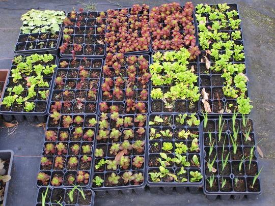 Mainly Sedum cuttings taken about 6 weeks ago + some flag iris seedlings