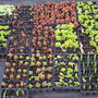 Mainly Sedum cuttings taken about 6 weeks ago + some flag iris seedlings  