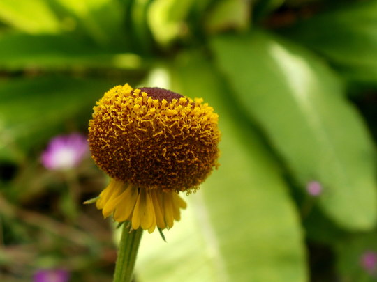 Lollipop helenium fully open (Helenium puberulum ' Autumn Lollipop ')