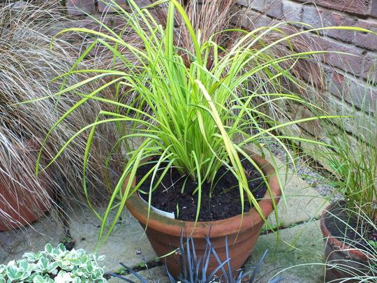 Carex Elata 'Aurea' (Bowles Golden Sedge) (carex elata)