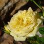 P1080708 (Mom's flowers 2012)