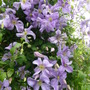 His Royal Highness (Clematis Prince Charles)