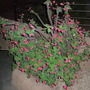 Euphorbia millii - Crown-of-Thorns (Euphorbia millii - Crown-of-Thorns)