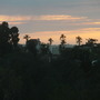Very Tall Queen Palms (Syagrus romanzoffiana) at San Diego's Sunset (Queen Palms (Syagrus romanzoffiana))