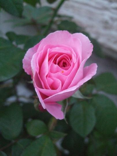 Rosa 'Gertrude Jekyll' (Rosa)