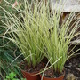 Carex 'Janeke'  hardy grass (Carex comans (Sedge))