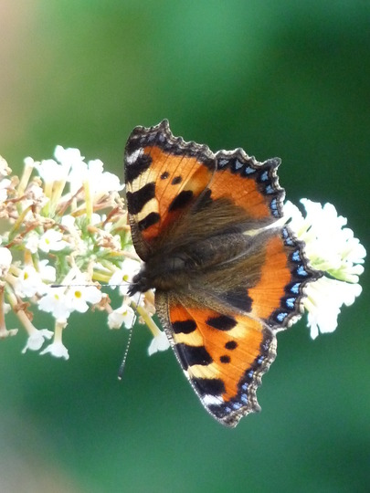 Small Tortoiseshell (Buddleja davidii (Butterfly bush))