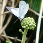 Holly Blue (Hedera helix (English ivy))