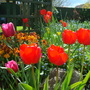 Tulips on rockery