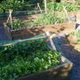 Salad bed and Onion Garlic and root veg bed photo taken 29th May