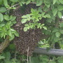 2nd swarm of Bees a few weeks later