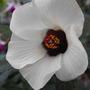 Hibiscus Bloom....