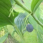 Solomon seal seed (Polygonatum x hybridum (Common Solomon's seal))
