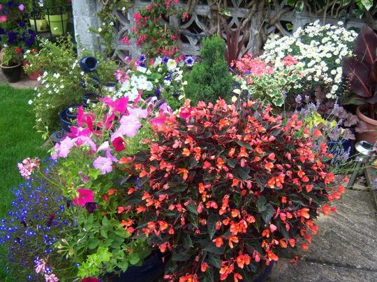 Best Summer Buy Begonia