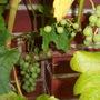 Grapes for Sticki