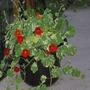 Nasturtiums in the pot