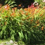 August_crocosmias