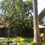 Palms at Ocean Palms Beach Resort at Carlsbad (Howea fosteriana - Kential Palm, Washingtonia robusta - Mexican Fan Palm)