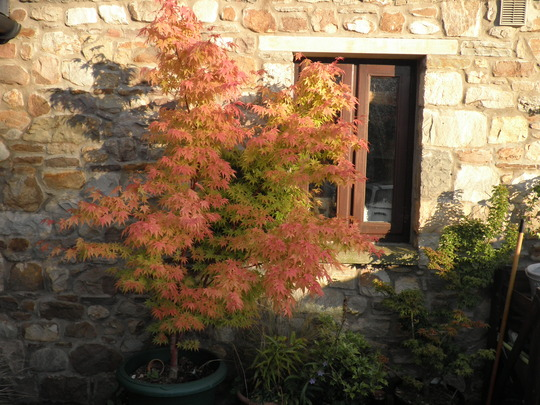 From bright green to yellow to pink n back again (Acer palmatum (Japanese maple))