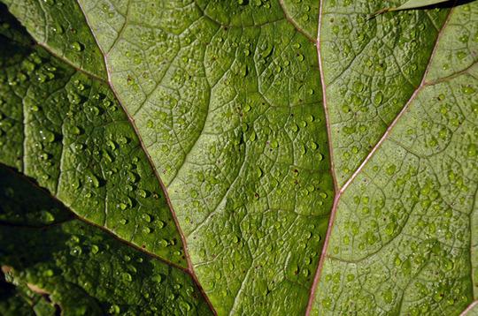 Morning dew (Gunnera manicata (Gunnera))