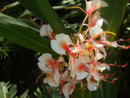 Hedychium species - Ginger Flowers (Hedychium species - Ginger Flowers)