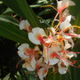 Hedychium species - Ginger Flowers (Hedychium species - Ginger Flowers)