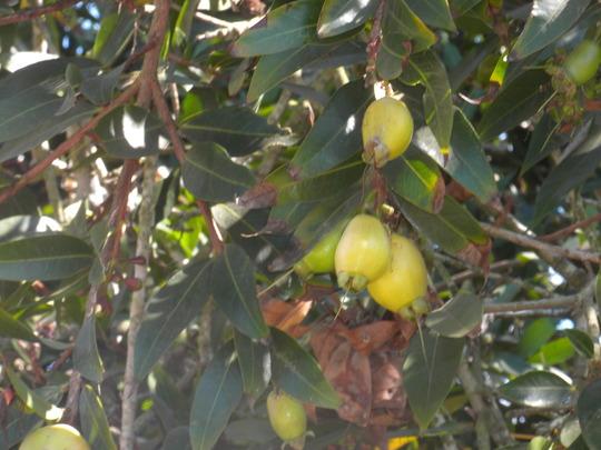 Syzygium jambos -  Rose Apple Fruit (Syzygium jambos -  Rose Apple)
