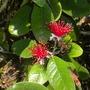 Acca sellowiana - Fejao, Pineapple Guava (Acca sellowiana - Fejao, Pineapple Guava)