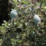 (Feijoa) Acca sellowiana - Feijoa, Pineapple Guava (Acca sellowiana - Feijoa, Pineapple Guava)