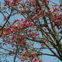 Brachychiton discolor - Lacebark Tree Flowers (Brachychiton discolor - Lacebark Tree)