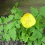 Cimg8015welsh_poppy