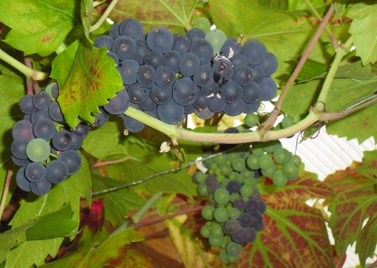 Grapes on vine 'Brandt' variety (vitis 'Brand')