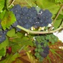 Cimg7997grapes