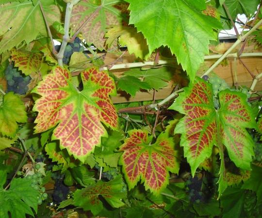 Vine leaves (vitis 'Brand')