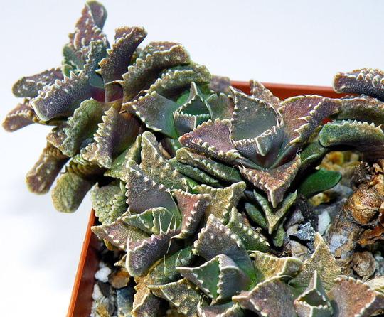 Faucaria felina subsp. tuberculosa (Faucaria felina subsp. tuberculosa)