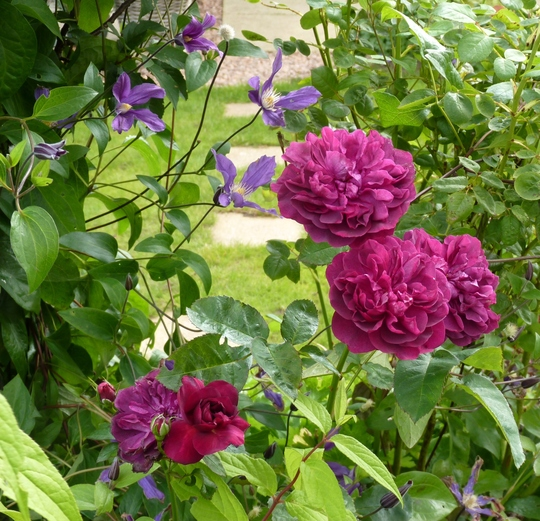 Rosa 'Darcey Bussell' and Clematis 'Fukuzono'